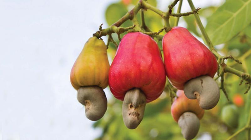 Hạt điều của Việt Nam được đánh giá rất cao trên thị trường thế giới