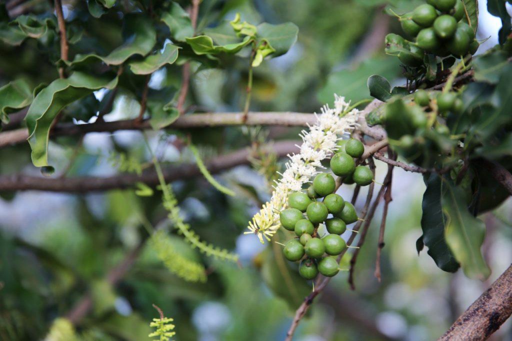 Hạt macca có nguồn gốc từ nước Úc