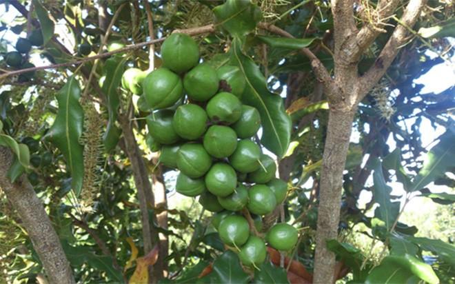 Hạt macca được trồng nhiều ở vùng Tây Nguyên Việt Nam